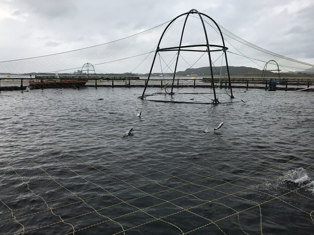 Open water salmon pens (2.5% fish/97.5% water) – The fish are jumping to fill their swim bladders with air.